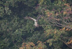 Dscn3132_osprey_landing