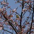 桜の蕾とメジロ
