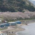 満開の走水浄水場の桜遠景