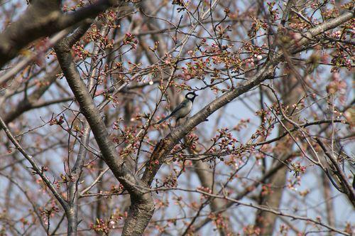 桜の蕾とシジュウカラ