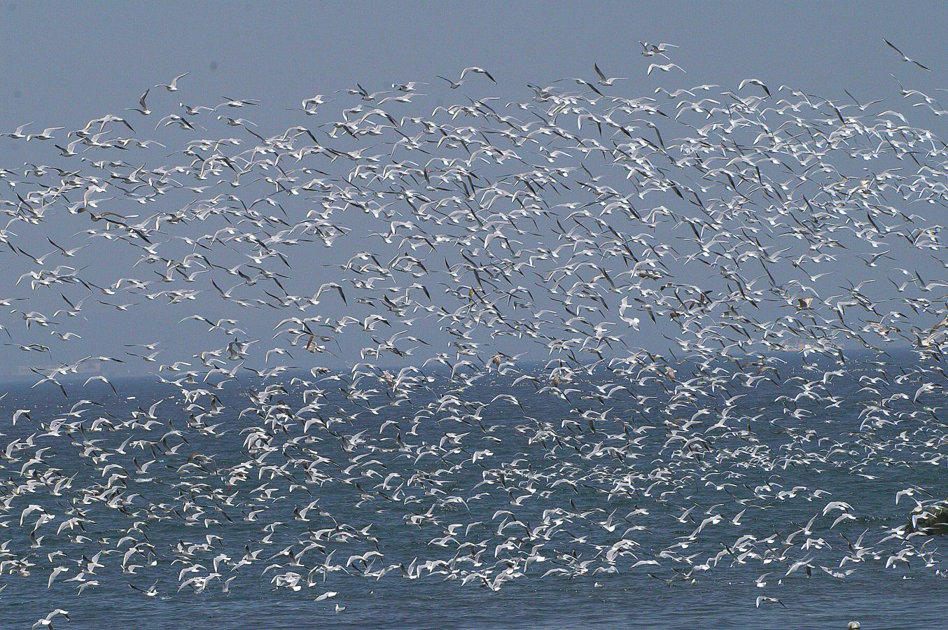 ウラガのカラスの野鳥観察