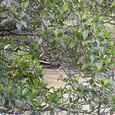 マングローブの花